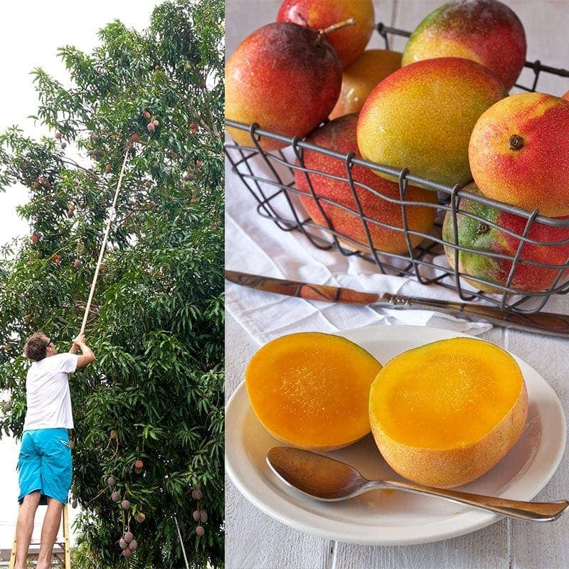 photo of man picking mangos from a tree with fruit picker and a basket of mangos next to a plate of a sliced mango